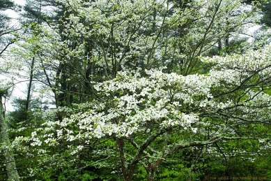 dogwood forest