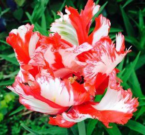 tulips 2015 1
