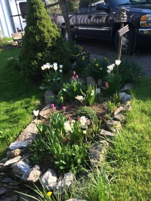 tulips May 2015